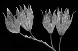 Caryopteris incana