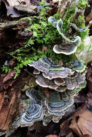 Turkey Tail Fungus and Delicate Fern Moss