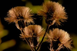 Vernonia noveboracensis: seeds
