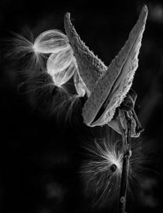 Asclepias syriaca (Milkweed)